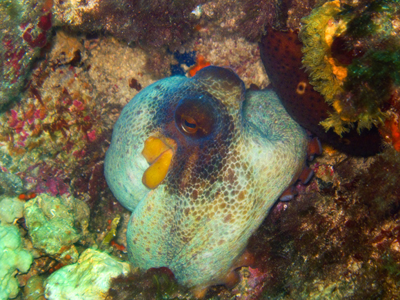 Octopus bei Cala Egos